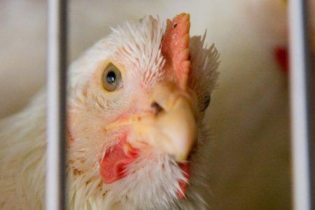 Hoe halal is deze kip?